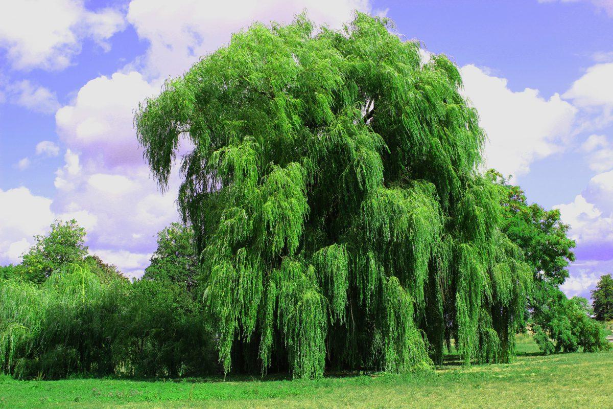 weeping-willow-3637978_1920-1200x800.jpg